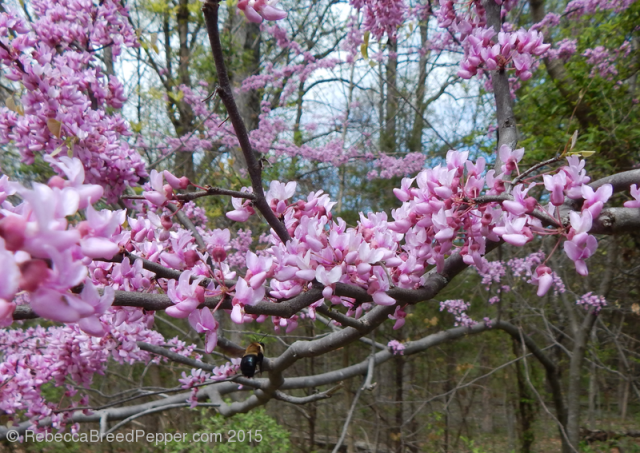Virginia Redbud and Bee