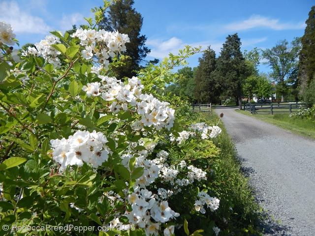 white roses along road