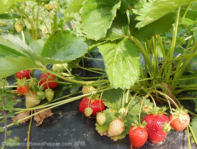 Berries in the field