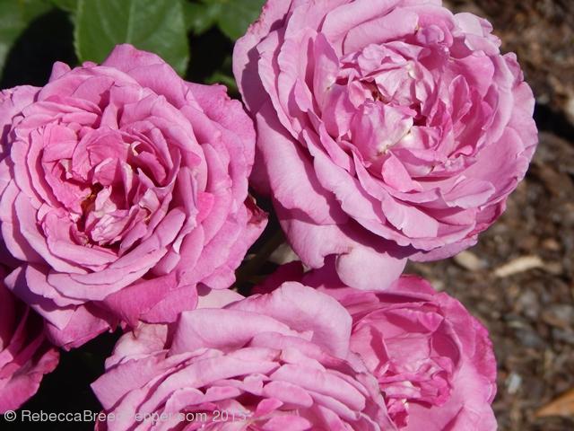 full roses