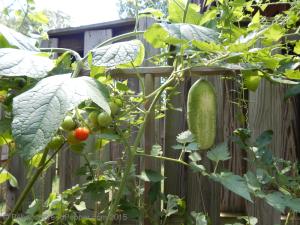 Big Cucumber