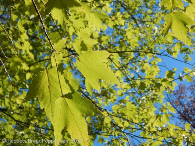 Light green maple leaves