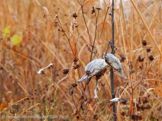 Milkweed in the Field