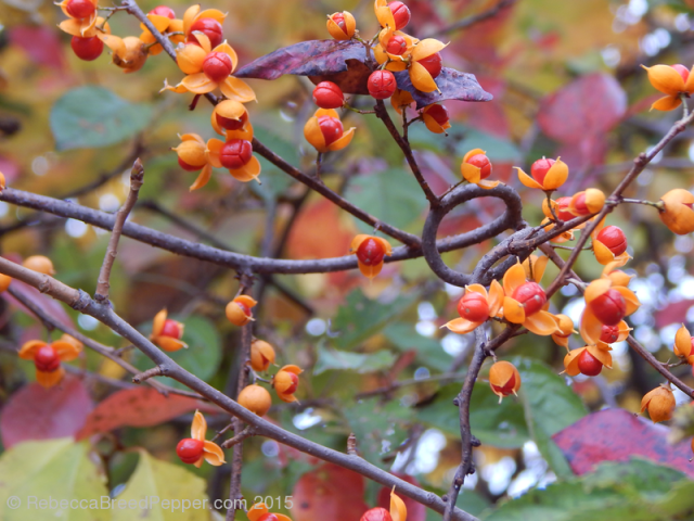 Red and Yellow Berries