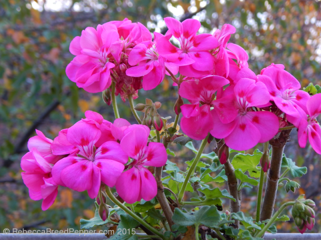 Lots of Pink Geraniums