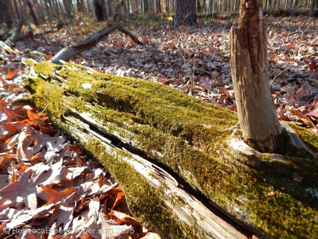 Mossy Log 20151124
