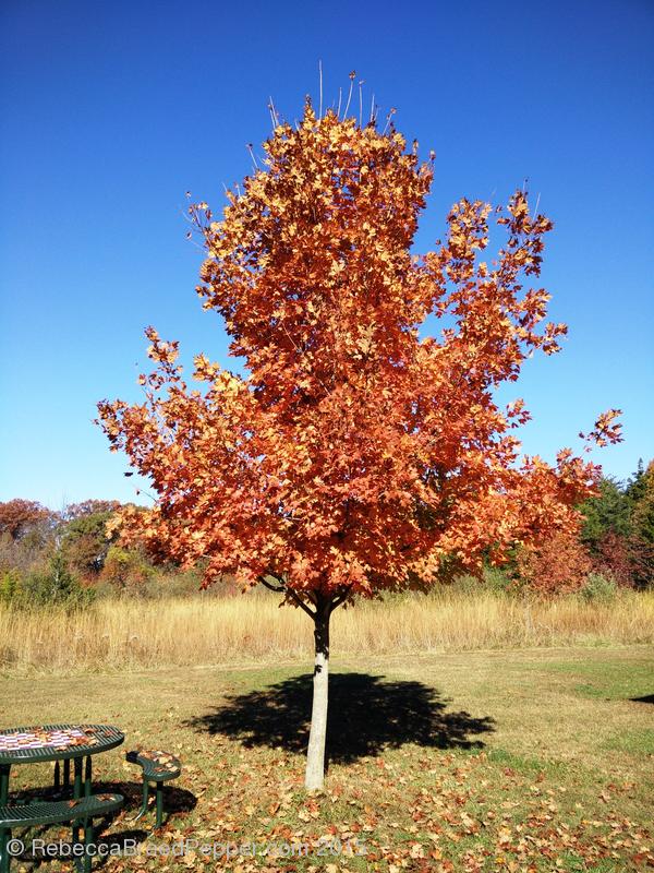 Orange Tree 20151124
