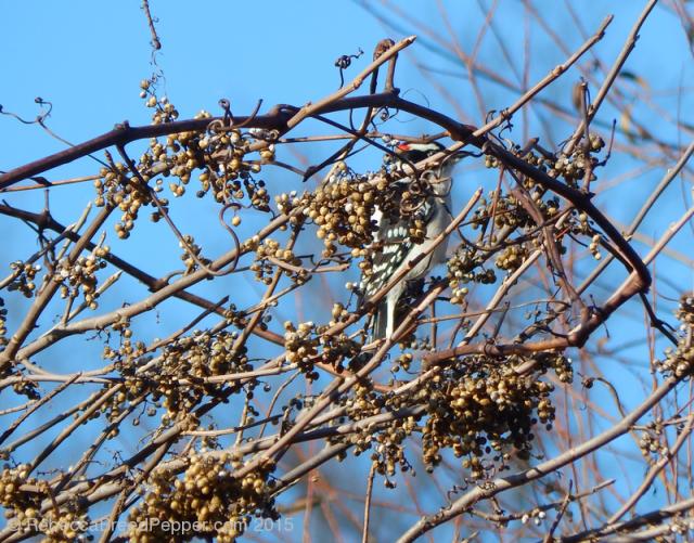 Woodpecker 20151124