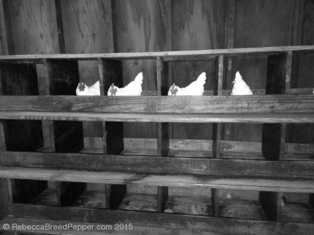 Chickens 20151220