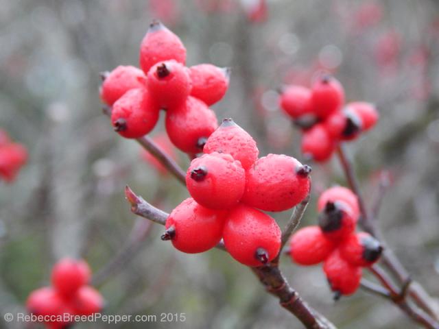 Red berries 20151227