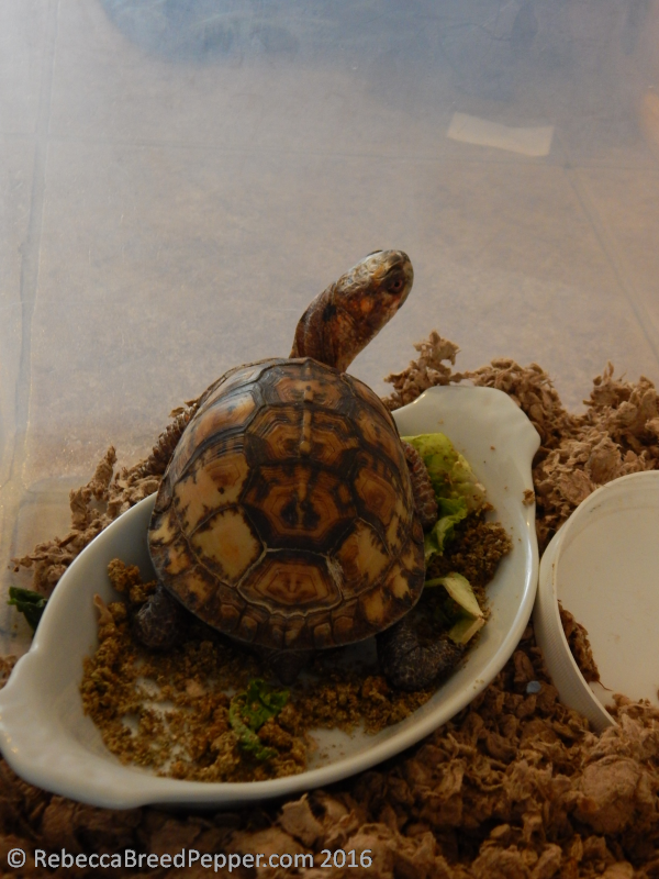 Big Box Turtle