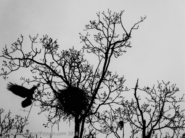 Crow Arriving with a Grapevine