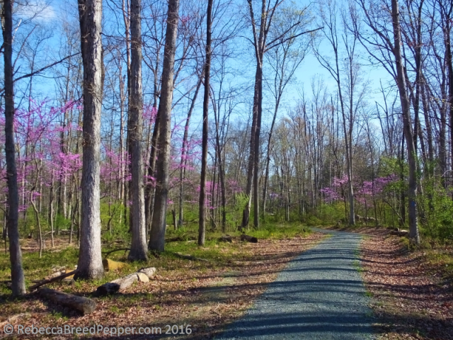 Path with Redbuds
