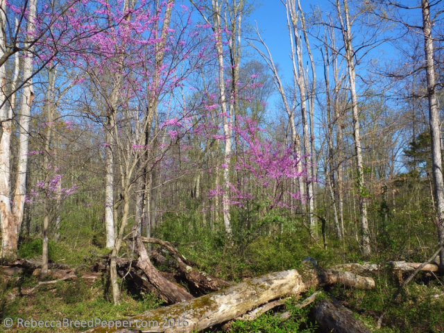 Redbuds in the Woods