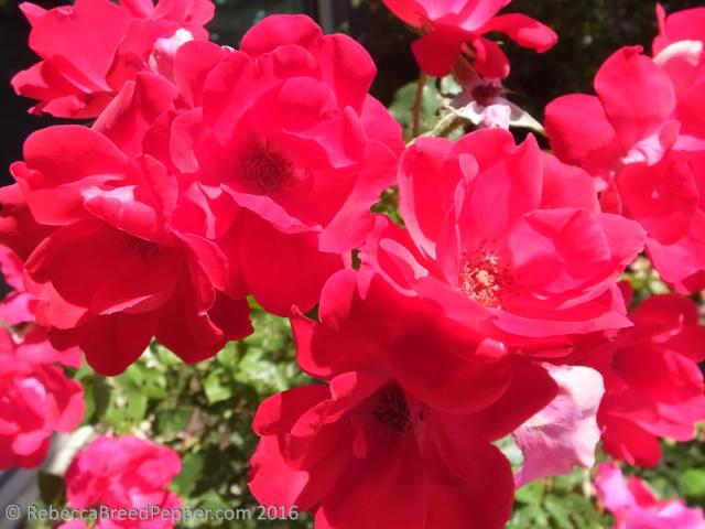 Elementary School Roses