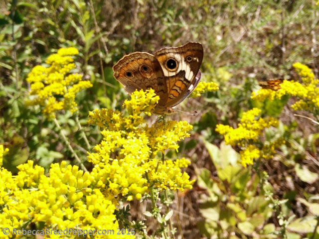 buckeye-on-goldenrod