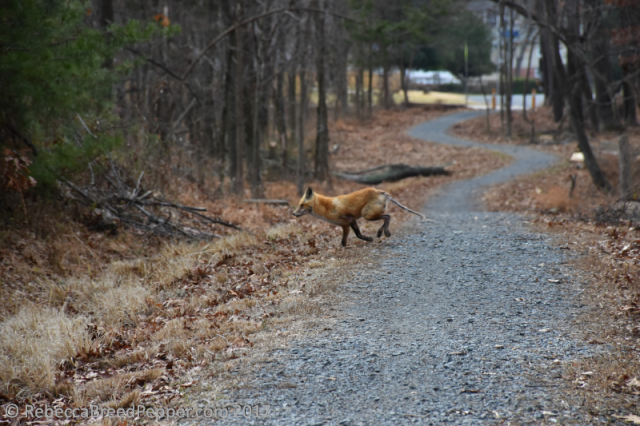 fox-running-along-the-path