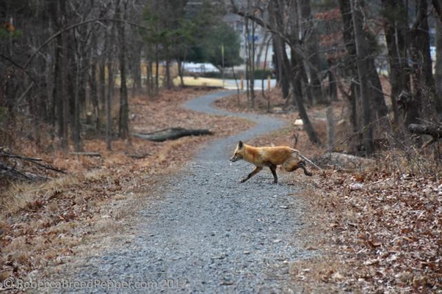fox-running