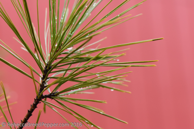 pine-and-raindrops-red-background