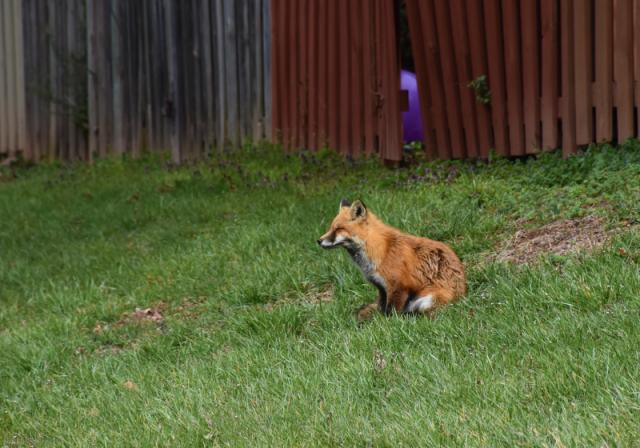 Quiet Fox