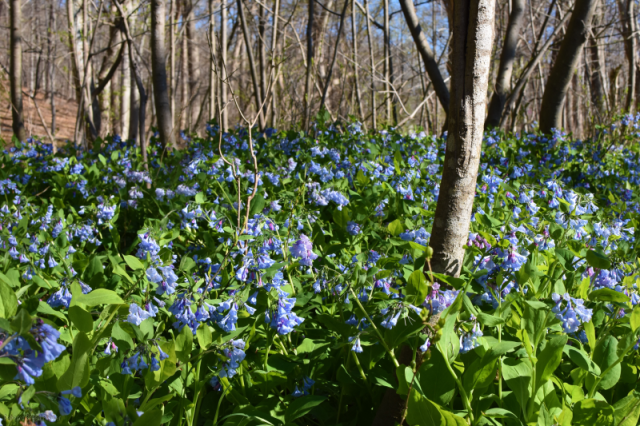 Bluebells and Woods