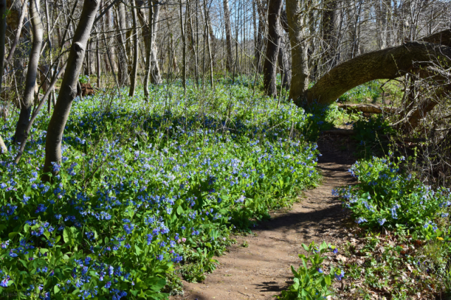 Bluebells at Riverbend Park