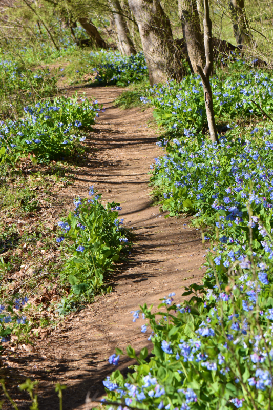 Path Through Bluebells 2