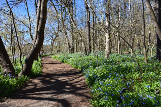 path through bluebells