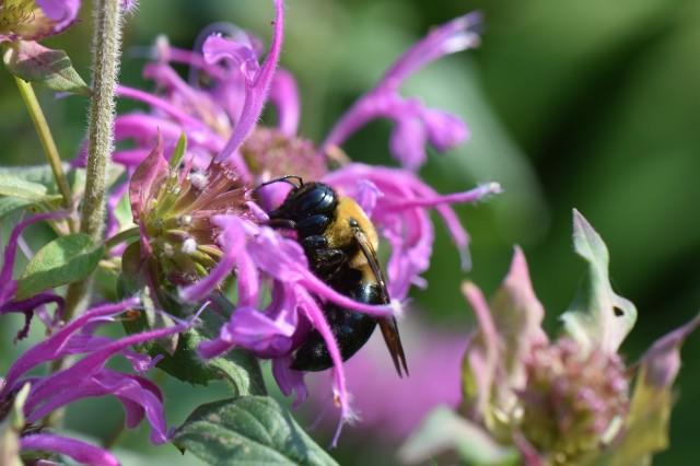 Bergamot and Bee