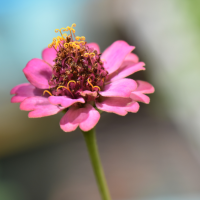 Wordless Wednesday: Zinnia