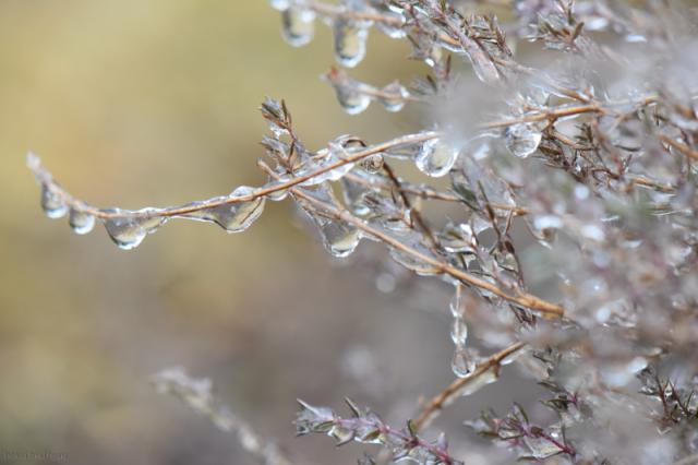 Iced Thyme